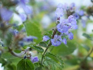 Pflanzen gegen stechm cken for Balkonpflanzen gegen fliegen