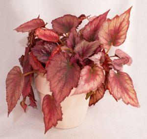 Zimmerpflanzen umtopfen wann und wie oft - Begonie zimmerpflanze ...