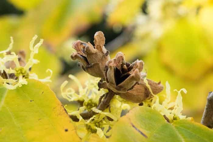 Virginische Zaubernuss: Herbstblühende Hamamelis verzaubert den Garten und steckt voller Heilkraft