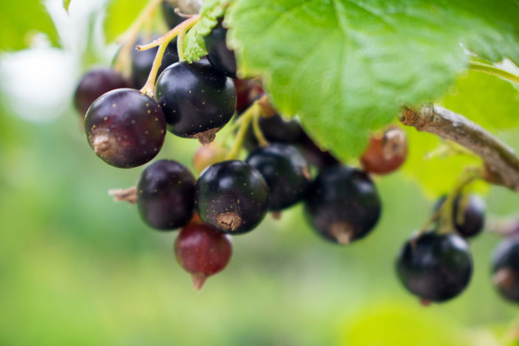 Johannisbeeren Wissenswertes über Das Gesunde Beerenobst