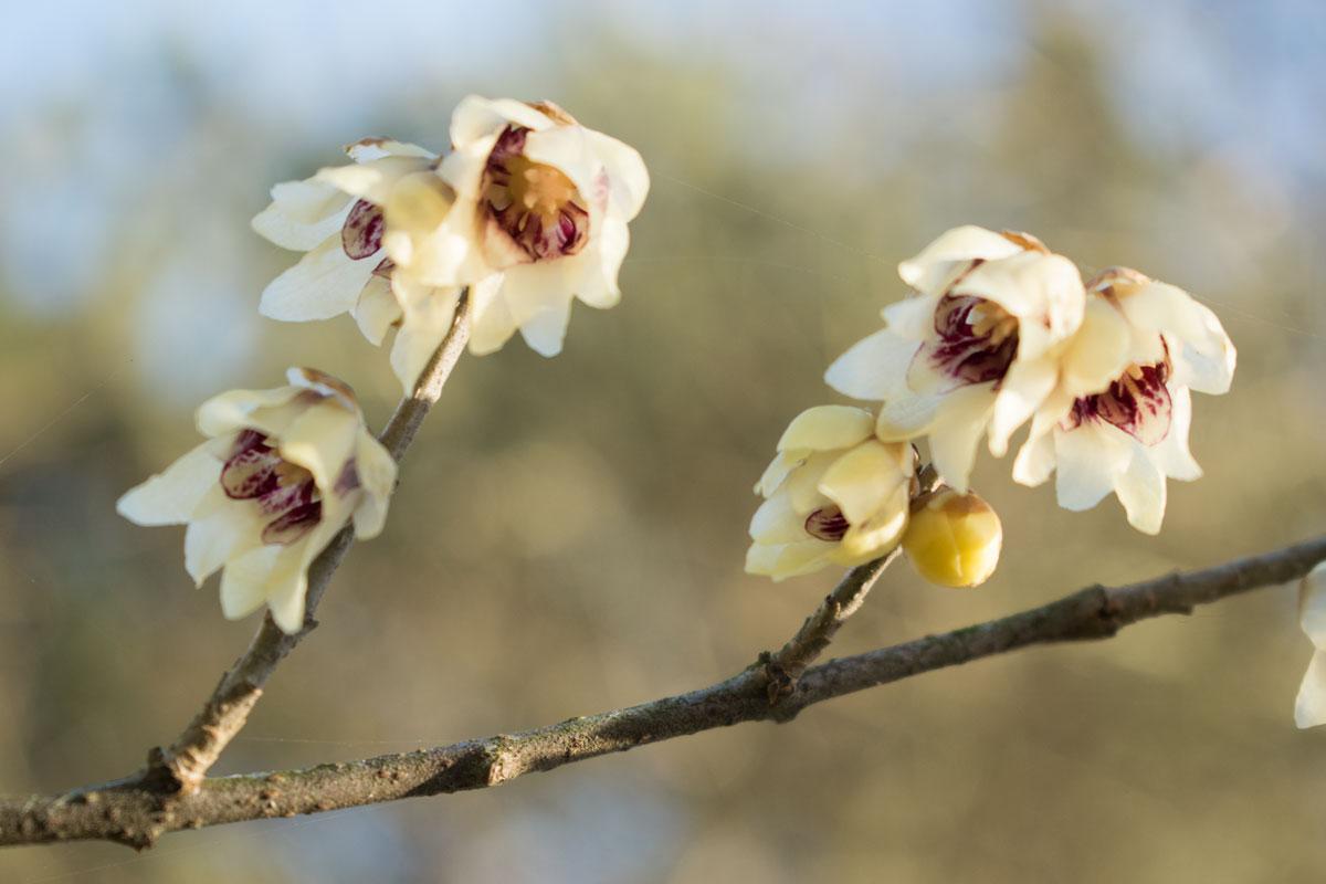 Die Chinesische Winterblüte bringt Frühlingsduft im Winter