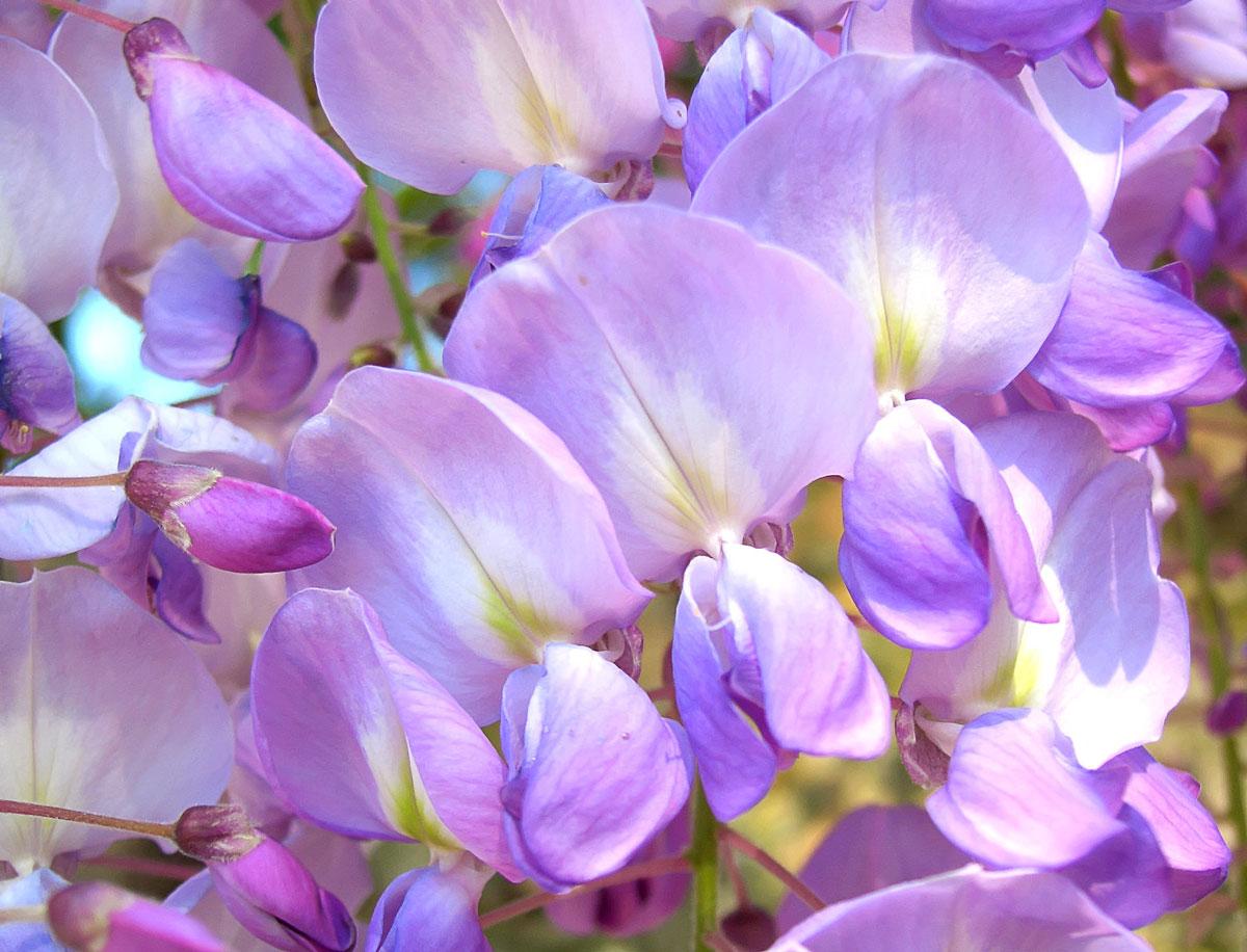 Der Blauregen im Porträt: Die Lieblingsblume der Blauen Holzbiene